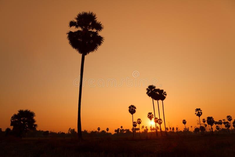 Arengapalme und Reis archiviert während des Sonnenuntergangs lizenzfreie stockfotos