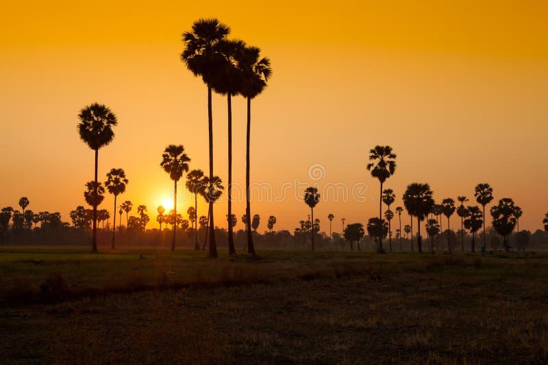 Arengapalme und Reis archiviert während des Sonnenuntergangs stockbilder