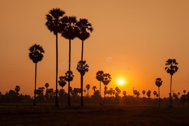 Arengapalme und Reis archiviert während des Sonnenuntergangs stockfoto