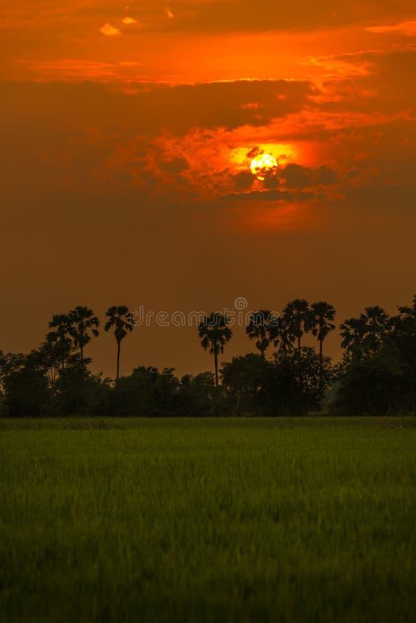 Arengapalme und Reis archivierten während des Sonnenuntergangs bei Thailand lizenzfreies stockbild