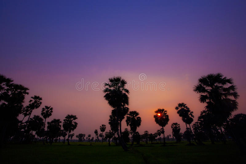 Arengapalme während des Sonnenuntergangs stockbilder