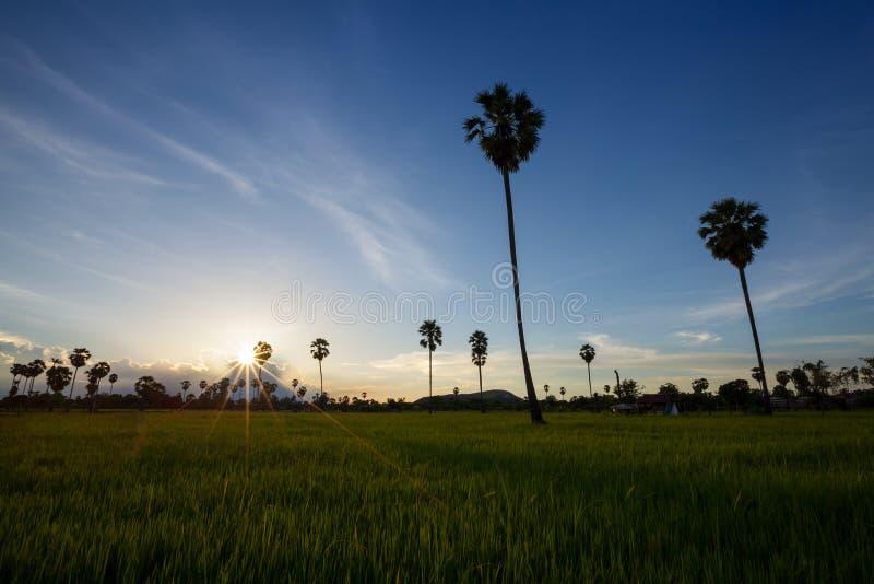 Arengapalmebaum und -reis archivierten bei Sonnenuntergang lizenzfreies stockbild