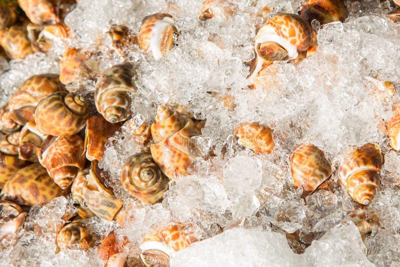 Areola babylon of bevlekt babylon in de zeevruchtenmarkt Verse Bevlekte Babylon op een dienblad en container met ijs op shell in  royalty-vrije stock foto's