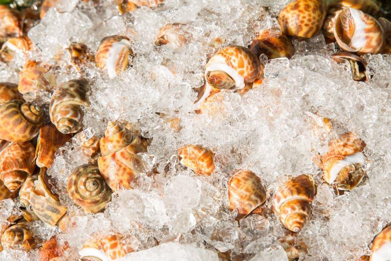 Areola babylon of bevlekt babylon in de zeevruchtenmarkt Verse Bevlekte Babylon op een dienblad en container met ijs op shell in  stock foto