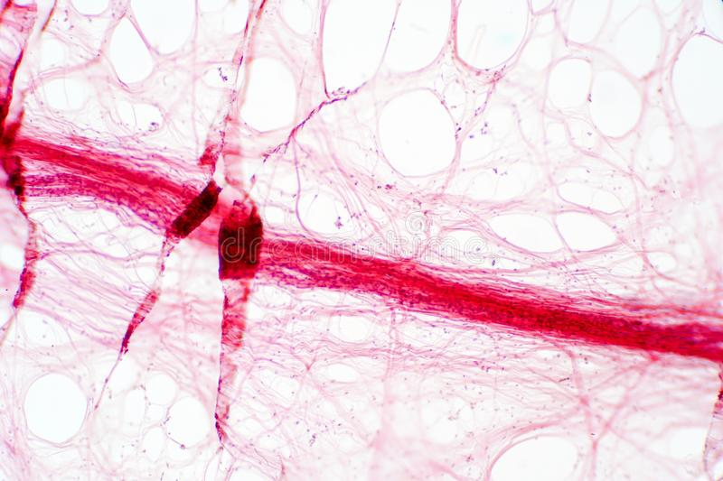 Areolar connective tissue under the microscope view. Histological for human physiology royalty free stock photo