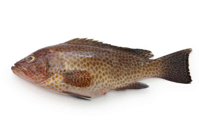 Areolate grouper stock images