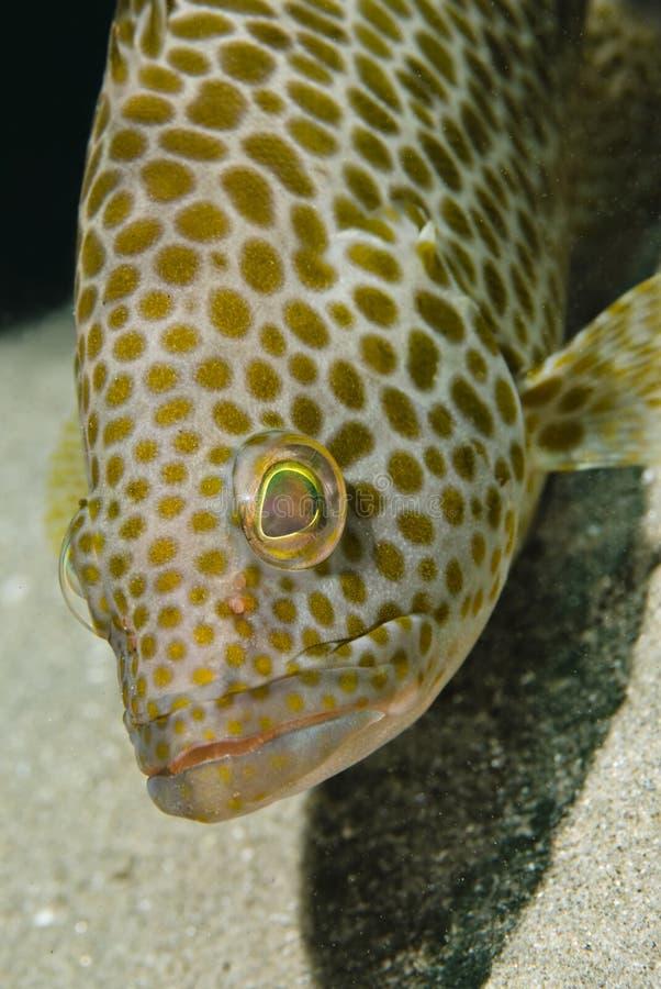 areolate grouper headshot που επισημαίνεται στοκ εικόνες