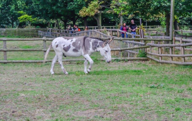 Arg född upp åsna som går i paddock på den Mudcute lantgården royaltyfri foto