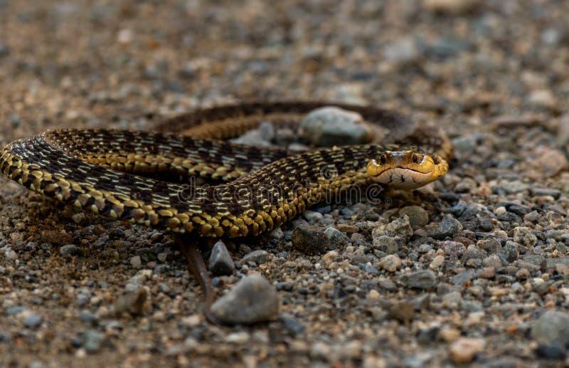 Arg Garter Snake i Maine arkivfoto