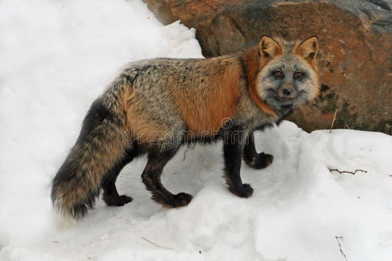 Arg räv i snön royaltyfri foto
