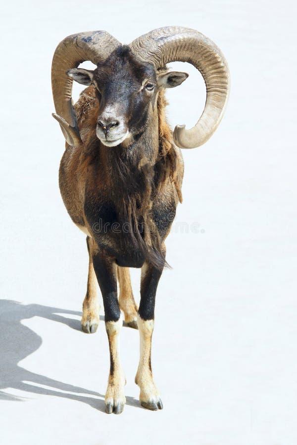 Free Argali Sheep Royalty Free Stock Photography - 31885727