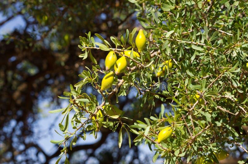 Argan boom met gele vruchten royalty-vrije stock afbeeldingen