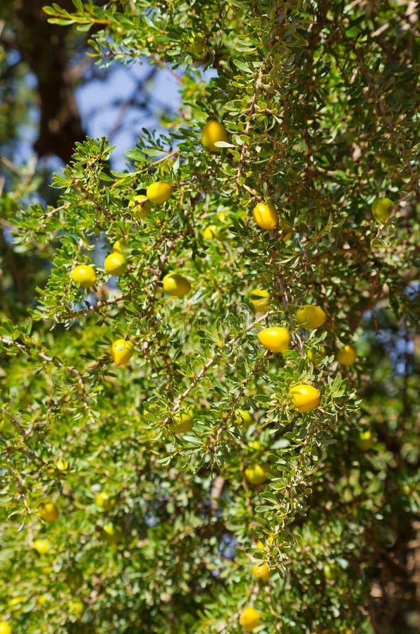 Argan boom met gele vruchten stock afbeelding