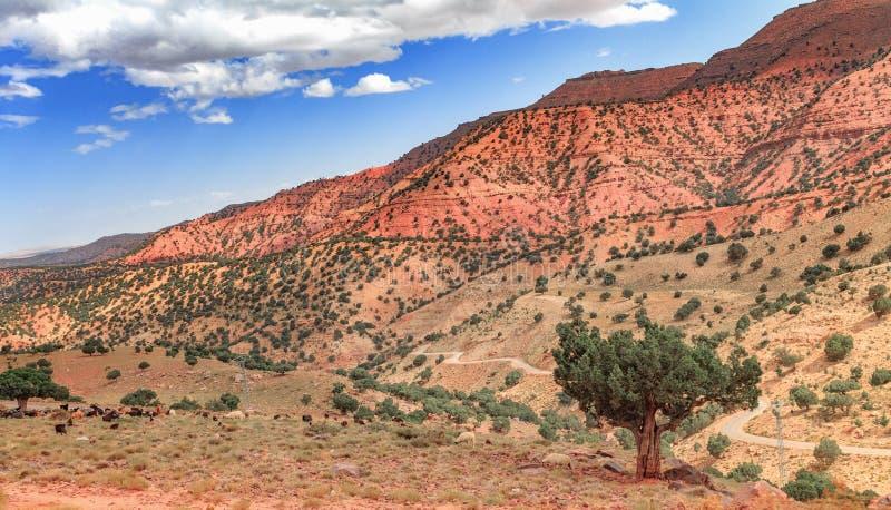 Argan de bomen groeien in het midden van de troosteloze vallei in Marokko Mooi Noordelijk Afrikaans Landschap stock fotografie
