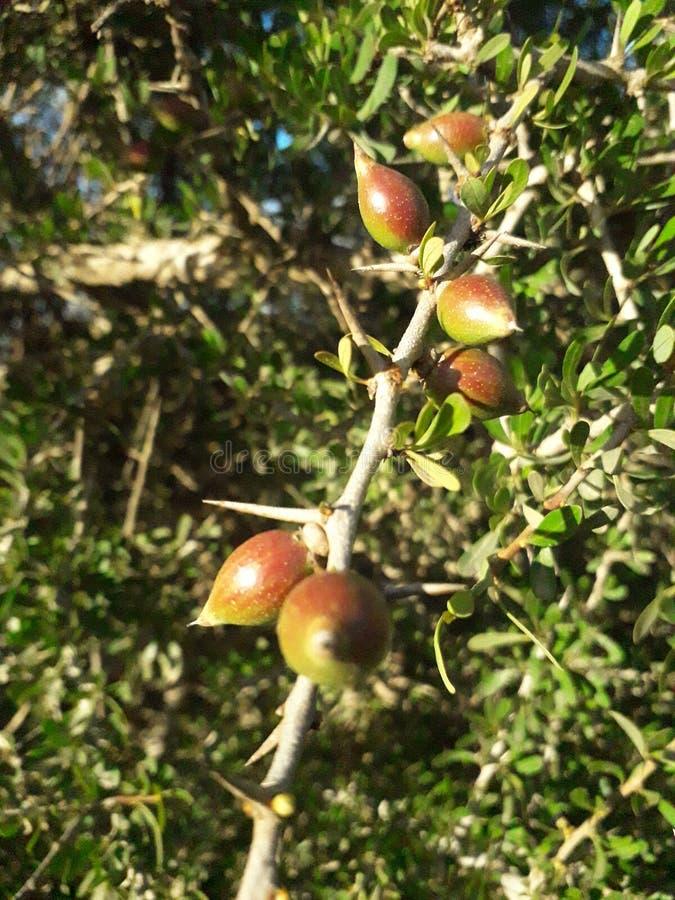 Argan drzewo fotografia stock