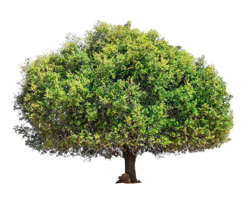 Argan drzewo odizolowywający zdjęcie stock