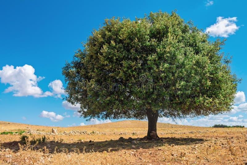 Argan drzewo w słońcu, Maroko fotografia royalty free