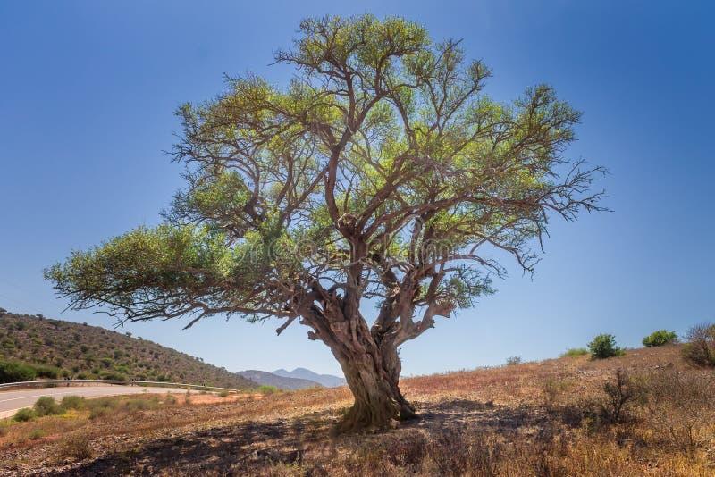 Argan drzewo w słońcu, Maroko zdjęcia stock