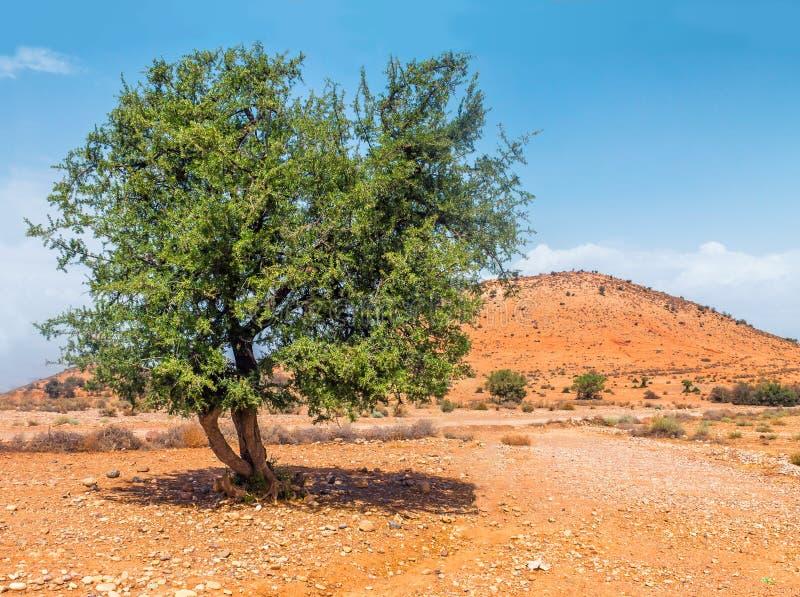 Argan drzewo w słońcu, Maroko zdjęcie stock