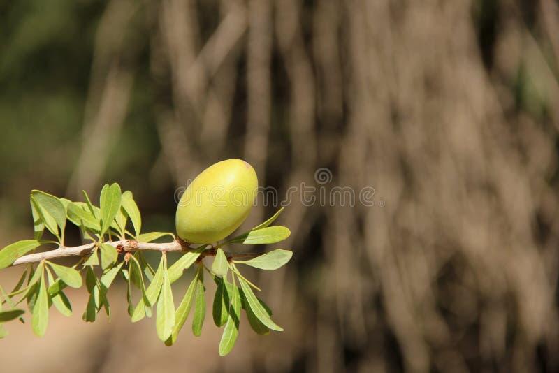 Argan Fruit stock foto's