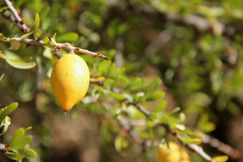 Argan Fruite royalty-vrije stock afbeelding