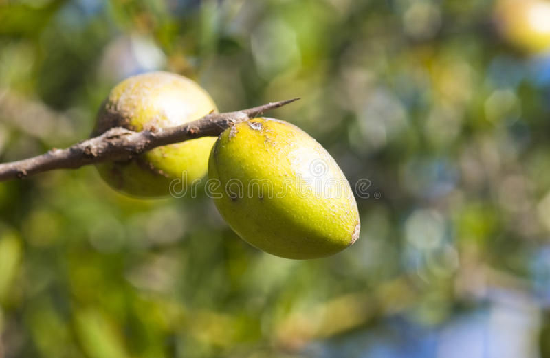 Argan nust on the trees royalty free stock image