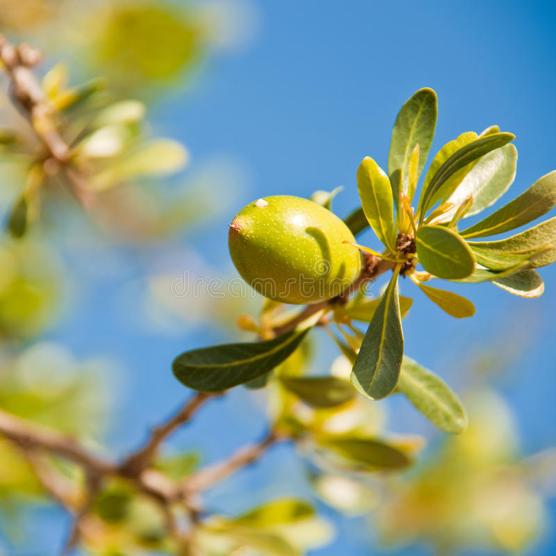 Download Argan nut on a branch stock image. Image of nutrition - 16211919