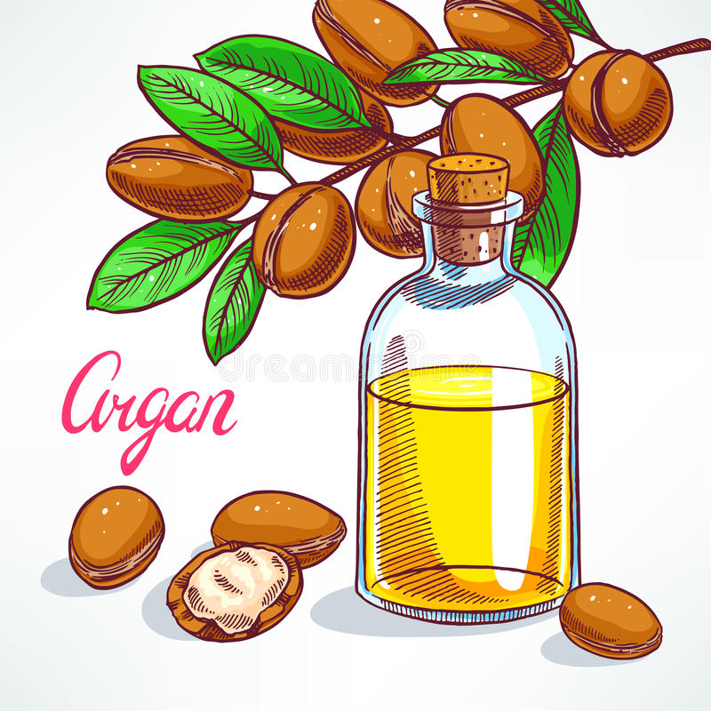 Argan oil. Argan tree branch with fruits and bottle of argan oil. hand-drawn illustration stock illustration