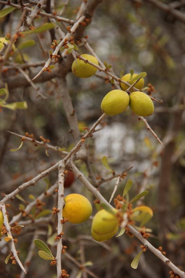 Argan owoc zdjęcia stock