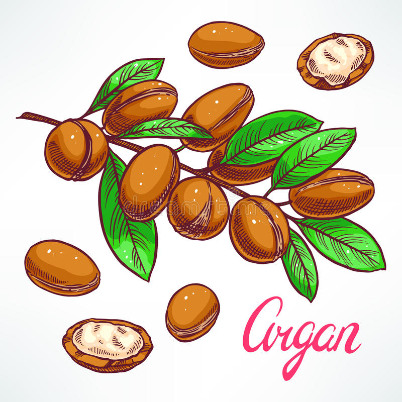 Argan tree branch. With fruits. hand-drawn illustration stock illustration