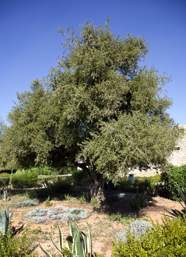 Argan trees in Morocco. Argan trees in Essaouira Morocco stock photos