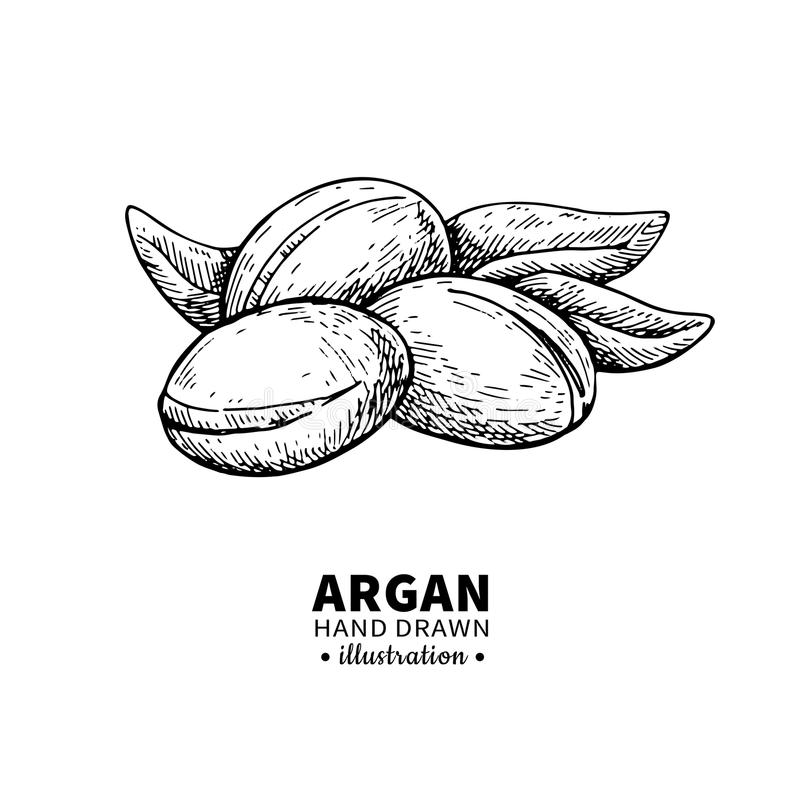 Argan vector drawing. Isolated vintage illustration of nut. Org. Anic essential oil engraved style sketch. Beauty and spa, cosmetic ingredient. Great for label royalty free illustration