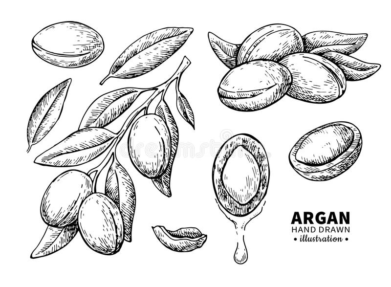 Argan vector drawing. Isolated vintage illustration of nut. Org. Anic essential oil engraved style sketch. Beauty and spa, cosmetic ingredient. Great for label stock illustration