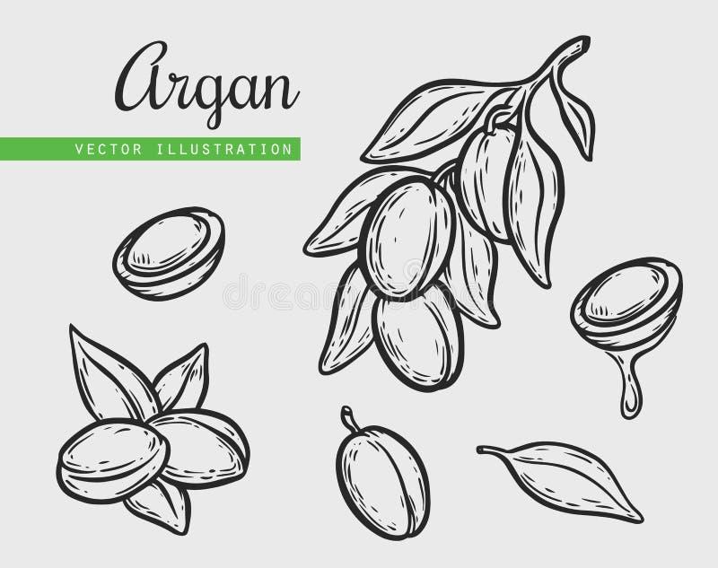 Argan vector drawing nut oil, fruit, berry, leaf, branch, plant. Argan vector drawing nut oil, fruit, berry, plant. Hand drawn engraved vector sketch etch stock illustration