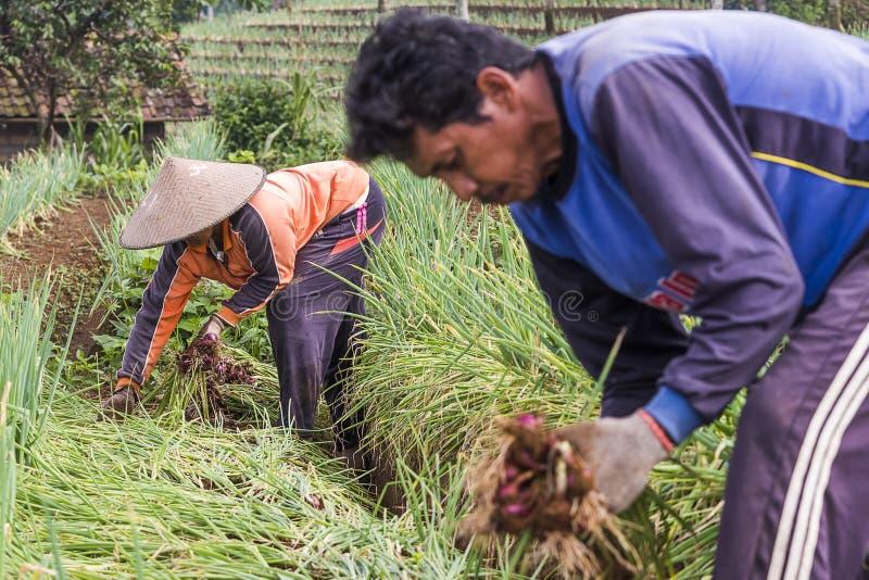 Argapura印度尼西亚2018年:工作在他们的葱种植园的农夫在日出,西爪哇省,印度尼西亚以后的早晨 免版税库存照片