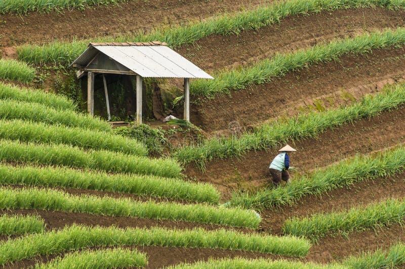 Argapura印度尼西亚2018年:工作在他们的葱种植园的农夫在日出,西爪哇省,印度尼西亚以后的早晨 免版税库存图片