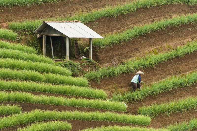 Argapura Индонезия 2018: Фермер работая в их плантации лука в утре после восхода солнца, западная Ява, Индонезия стоковое изображение rf