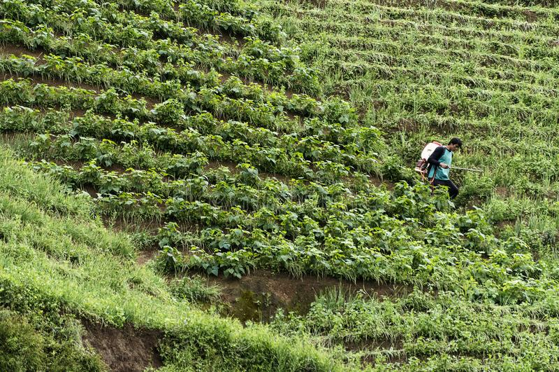 Argapura Indonésie 2018 : Agriculteur travaillant dans leur plantation d'oignon pour la récolte pendant le matin après lever de s image stock