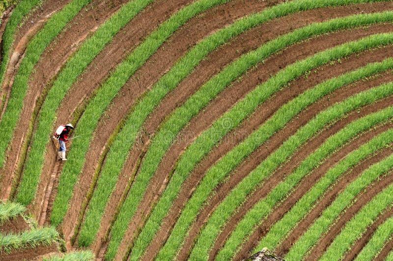 Argapura Indonesia 2018: Agricoltore che lavora nella loro piantagione della cipolla di mattina dopo l'alba, Java ad ovest, Indon fotografie stock