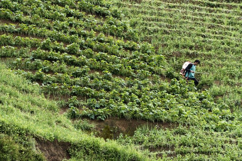 Argapura Indonesien 2018: Landwirt, der morgens in ihrer Zwiebelplantage für Ernte nach Sonnenaufgang, West-Java, Indonesien arbe stockbild