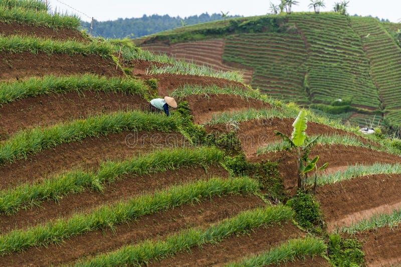 Argapura Indonesien 2018: Landwirt, der morgens in ihrer Zwiebelplantage nach Sonnenaufgang, West-Java, Indonesien arbeitet stockbilder