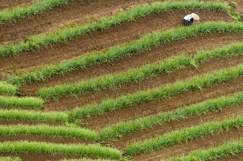 Argapura Indonesien 2018: Landwirt, der morgens in ihrer Zwiebelplantage nach Sonnenaufgang, West-Java, Indonesien arbeitet lizenzfreie stockfotografie