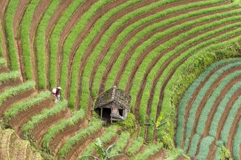Argapura Indonesien 2018: Landwirt, der morgens in ihrer Zwiebelplantage nach Sonnenaufgang, West-Java, Indonesien arbeitet lizenzfreie stockbilder