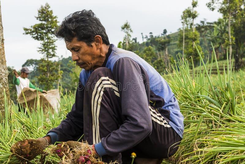 Argapura Indonesien 2018: Landwirt, der morgens in ihrer Zwiebelplantage nach Sonnenaufgang, West-Java, Indonesien arbeitet stockbild