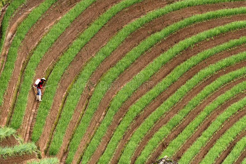 Argapura Indonesien 2018: Landwirt, der morgens in ihrer Zwiebelplantage nach Sonnenaufgang, West-Java, Indonesien arbeitet stockfotos