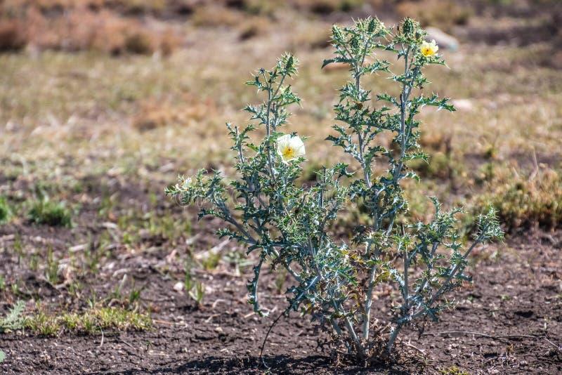 Argemone mexicana, Mexican poppy, Mexican prickly poppy, flowering thistle, bramha thandu stock photos