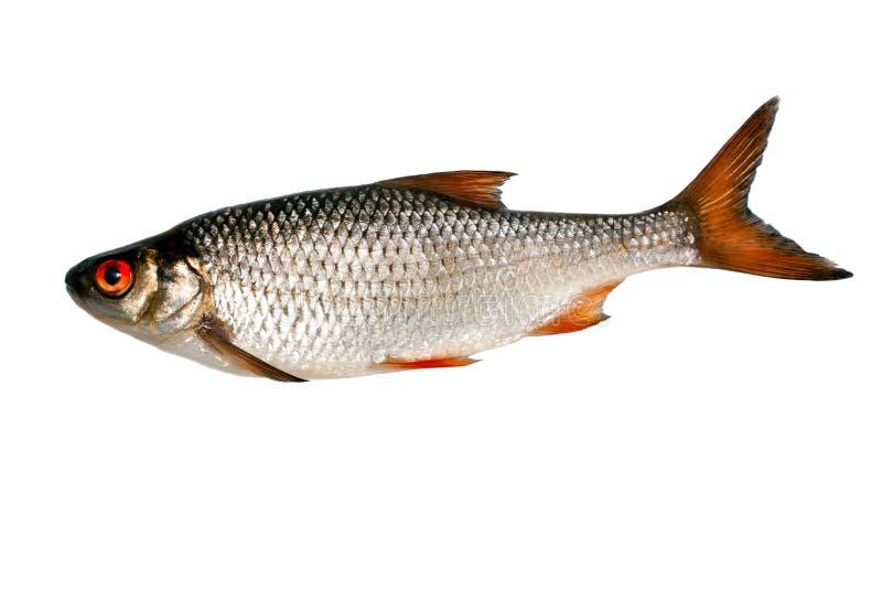 Argent de poissons image stock