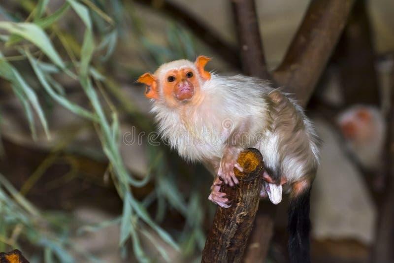argentata callithrix marmoset αργυροειδές στοκ εικόνες με δικαίωμα ελεύθερης χρήσης