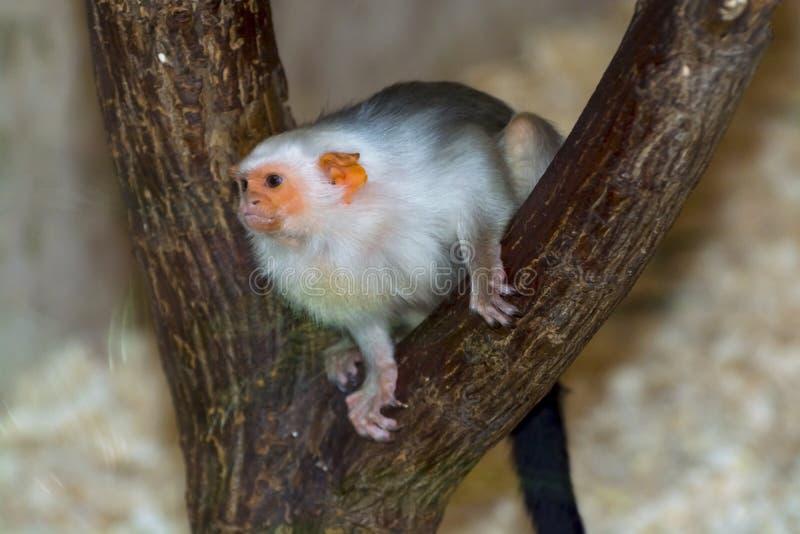 argentata callithrix marmoset αργυροειδές στοκ εικόνες