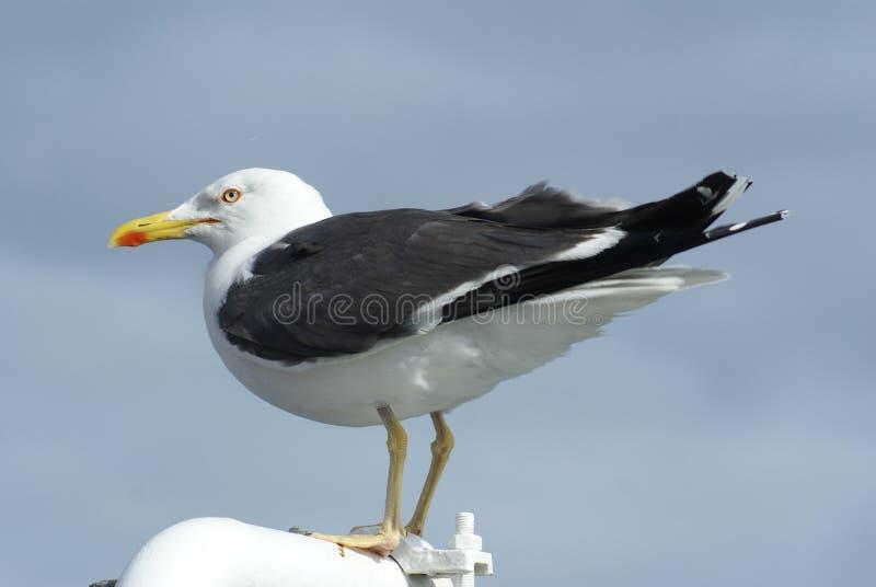 Download Argentatus Da Gaivota/Larus De Arenques Imagem de Stock - Imagem de tiro, praia: 12808443
